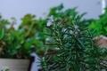 [園芸][植物][花]ローズマリー(2020-10-04)