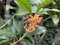 [植物]金木犀(2020-10-03)