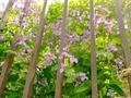 [植物][花]ムラサキハナナ?(2021-04-03)