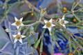 [園芸][花]朧月(2021-04-07)