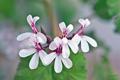[園芸][花]ナツメグ・ゼラニウム(2021-04-07)