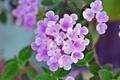 [園芸][花]コバノランタナ(2021-04-07)