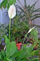 [園芸][花]スパティフィラム(2021-04-07)