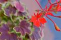 [園芸][花]モミジバ・ゼラニウム(2021-04-07)