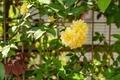 [花]モッコウバラ(2021-04-11)