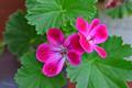 [園芸][花]クロリンダ・ゼラニウム(2021-04-22)