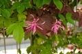 [花]ベニバナトキワマンサク(2021-04-11)