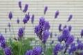 [花]フレンチラベンダー(2021-04-11)