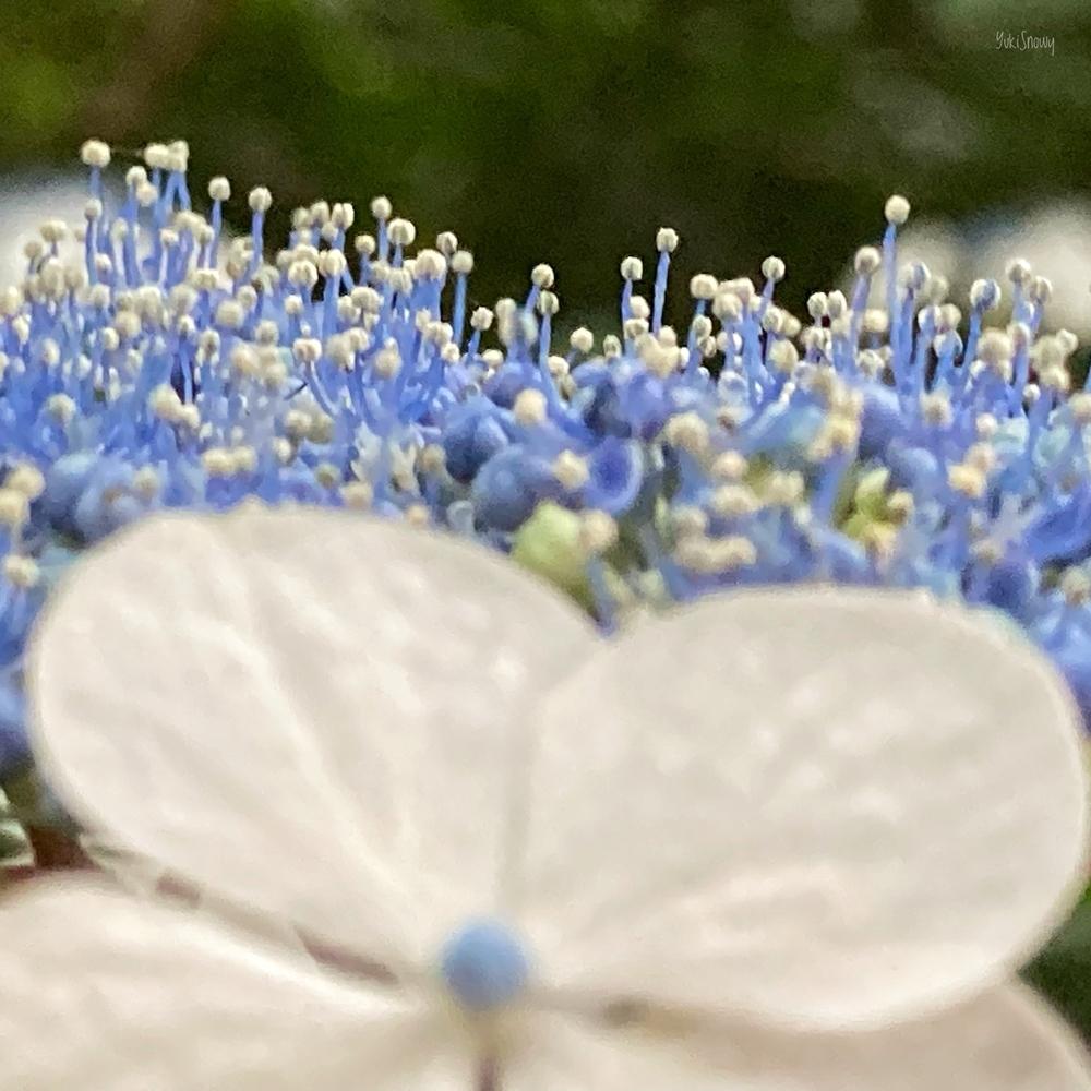 紫陽花@六義園(2021-06-05)