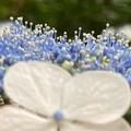 [花][風景][東京]紫陽花@六義園(2021-06-05)