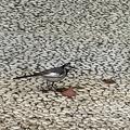 [野鳥][鳥]セグロセキレイ(2021-06-13)