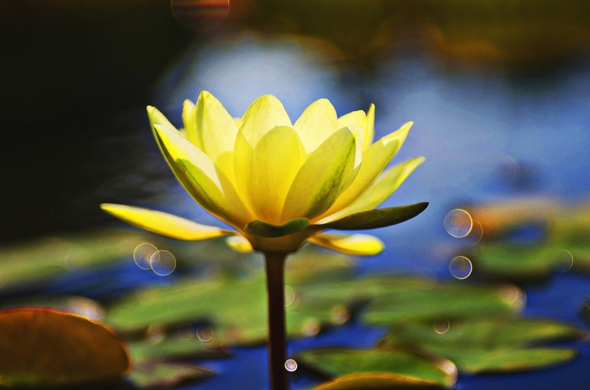 蓮の花:Soseki21ブログ