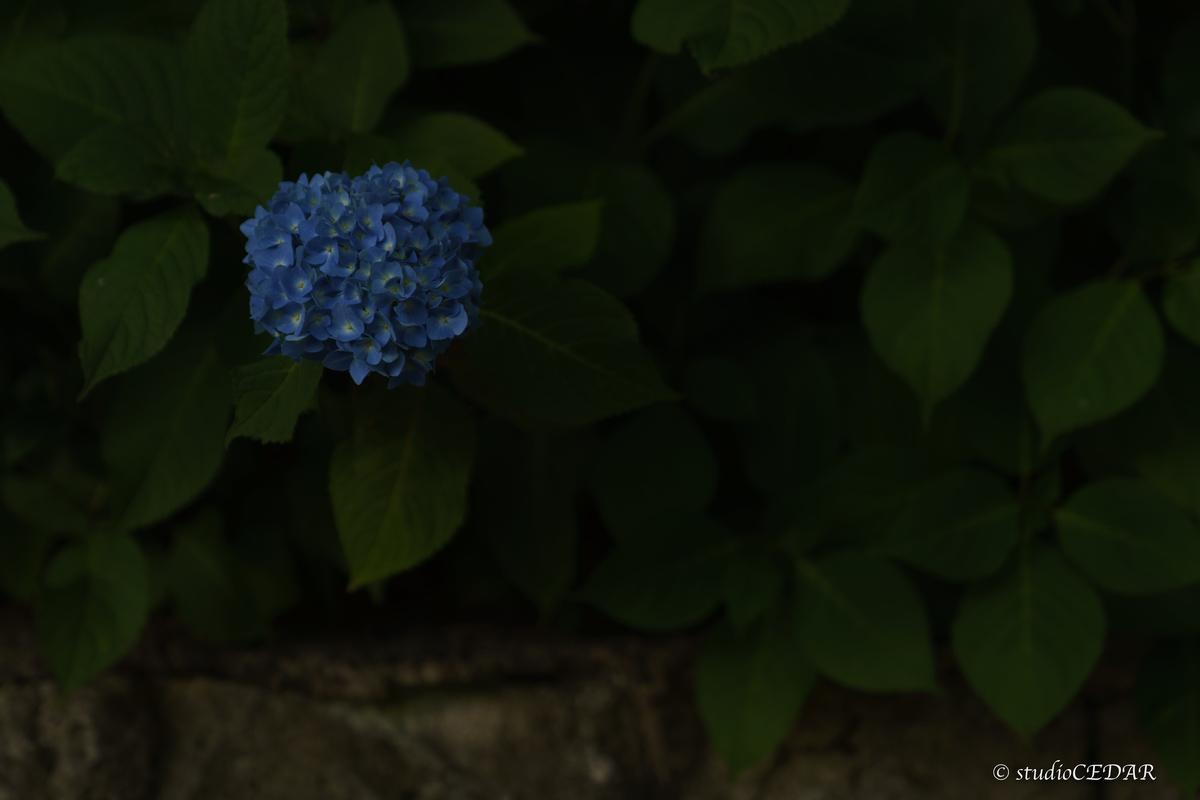 紫陽花 撮って出し