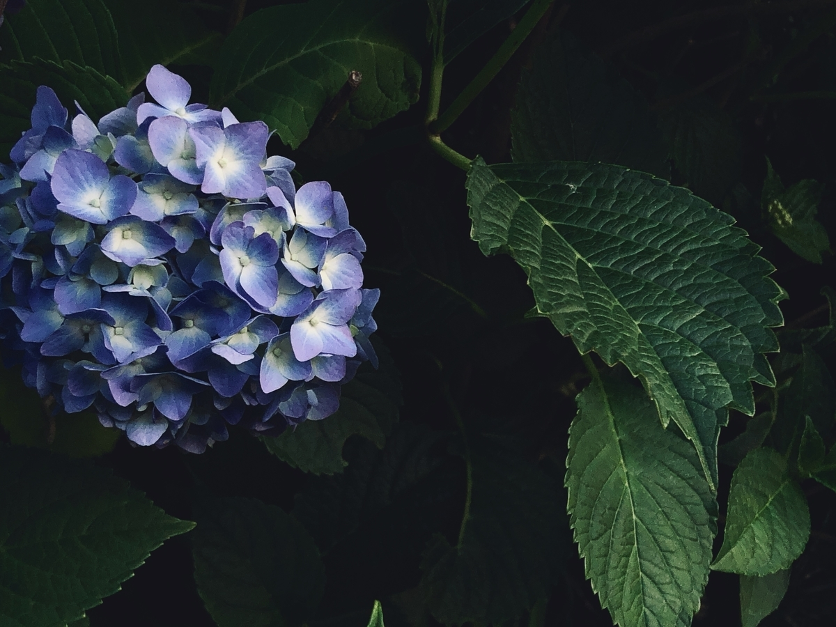 スマホで撮影した紫陽花