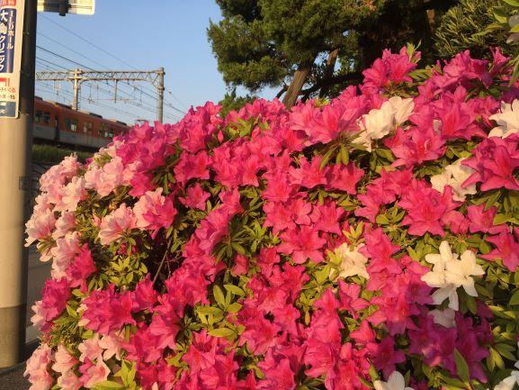 つつじの花と阪神電車
