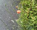 [花][草][植物]ナガミヒナゲシ