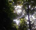 [木][植物]ユリノキ