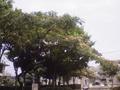 [木][花][植物]ネムノキ