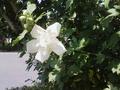 [花][植物]白八重ムクゲ
