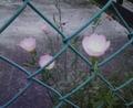 [花][植物][草]モモイロヒルザキツキミソウ