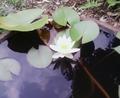 [花][植物]スイレン