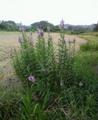 [花][草][植物]ハナトラノオ