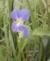 [花][草][植物]ツユクサ