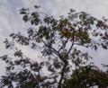 [木][植物][空]カキ