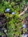 [花][草][植物]オオイヌノフグリ