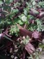 [花][草][植物]ハコベ