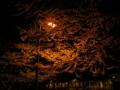 [木][夜][街灯][植物]カツラ