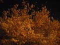 [花][木][植物][夜]サクラ