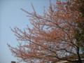 [木][植物][空]サクラ
