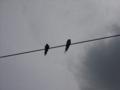 [鳥][空][電線][雲]ツバメ