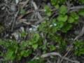 [草][花][植物]キュウリグサ