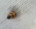 [虫]テントウムシ