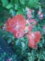 [植物][草][花]バラ
