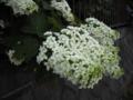 [植物][花]八重カシワバアジサイ