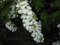 [植物][花]カシワバアジサイ