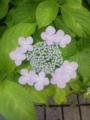 [植物][花]アジサイ