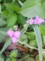 [草][花][植物]オオムラサキツユクサ