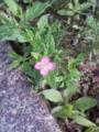 [草][花][植物]アカバナユウゲショウ