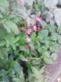 [草][花][植物]ハゼラン