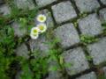 [草][花][植物]ヒメジョオン