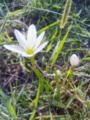 [花][草][植物]タマスダレ