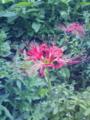 [草][花][植物]ヒガンバナ
