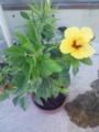 [花][草][植物]ハイビスカス