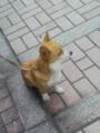 [犬]コーギー