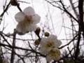 [花][植物]ウメ