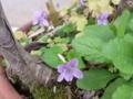 [花][草][植物]スミレ